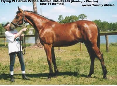 Georgian Grande Horse